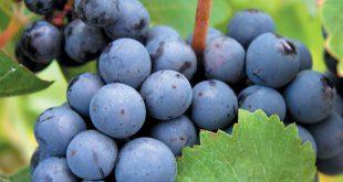 تولید کنسانتره انگور